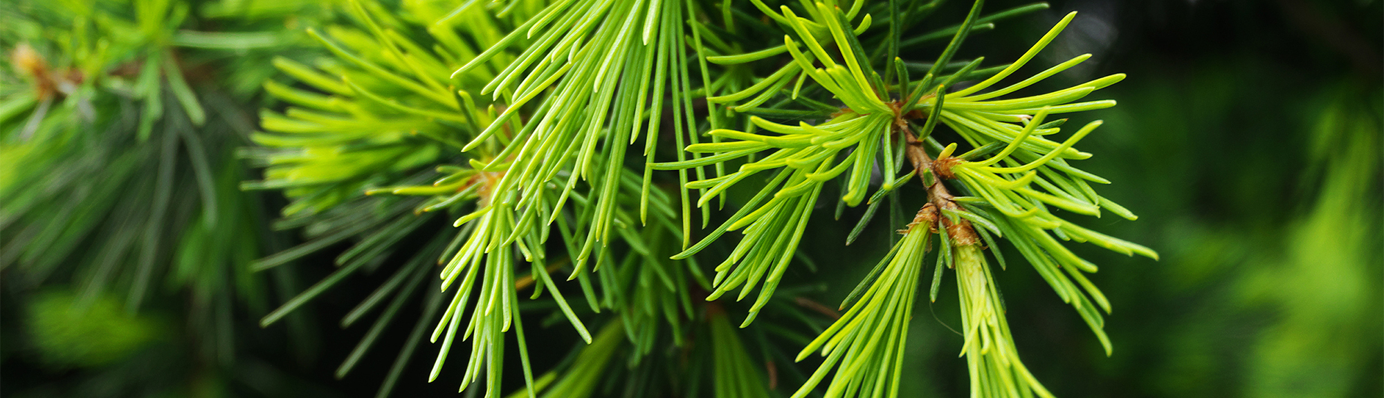 What We Love About Cedarwood Essential Oil