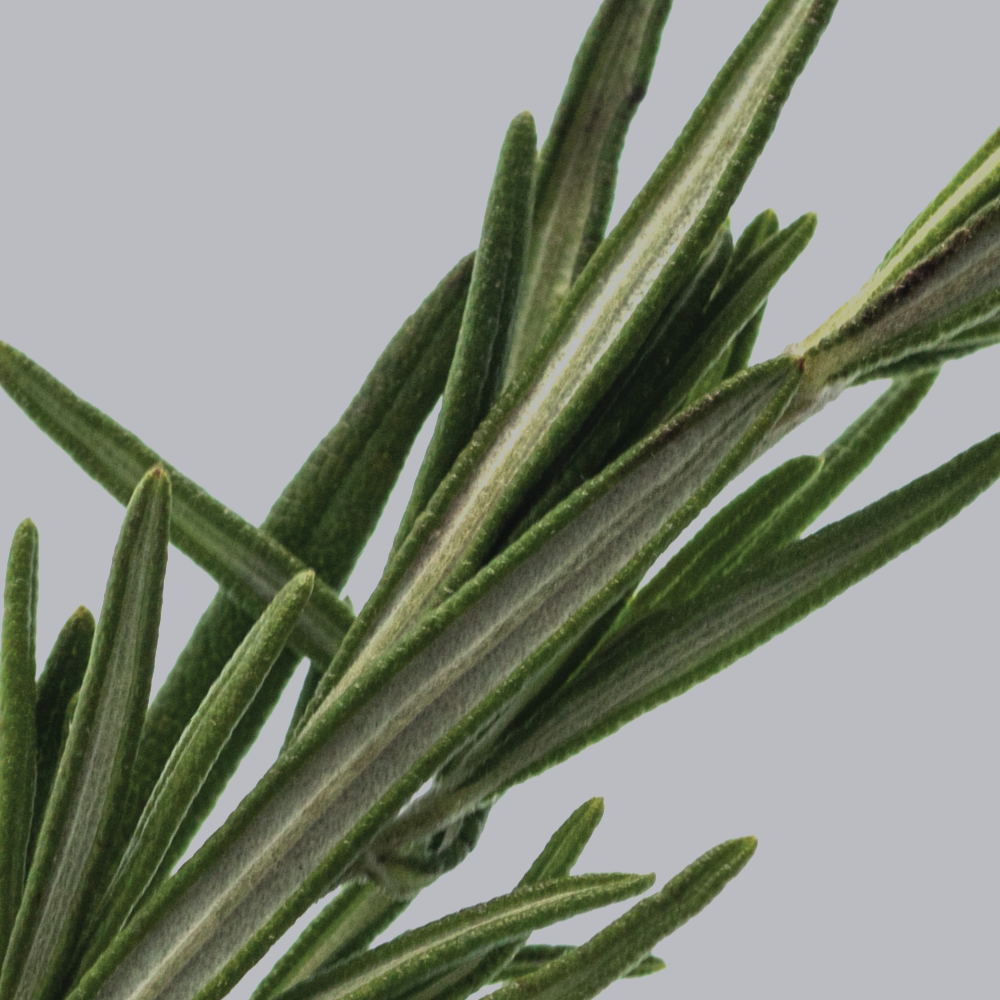 close-up of rosemary