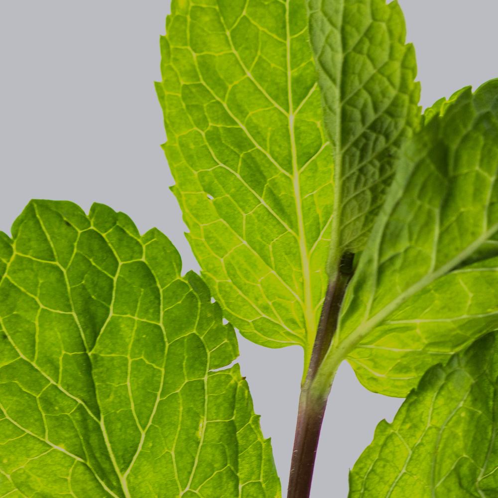 Closeup of peppermint leaves